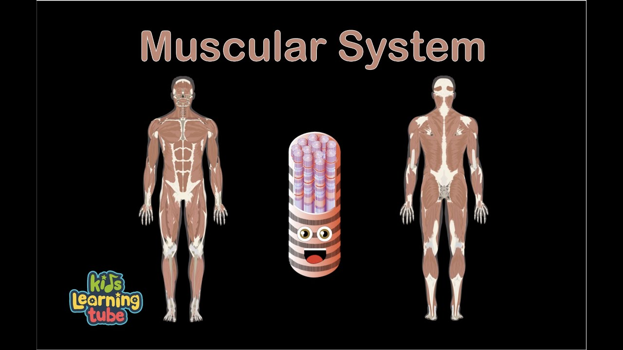 Muscle Anatomy Song For Kids Muscle Anatomy For Children Muscle