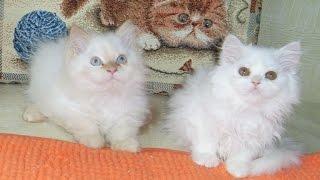 Персидская кошка белая с сиамскими глазами - вот это да - надо посмотреть!!!