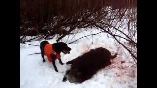 Охота с дратхааром на кабана