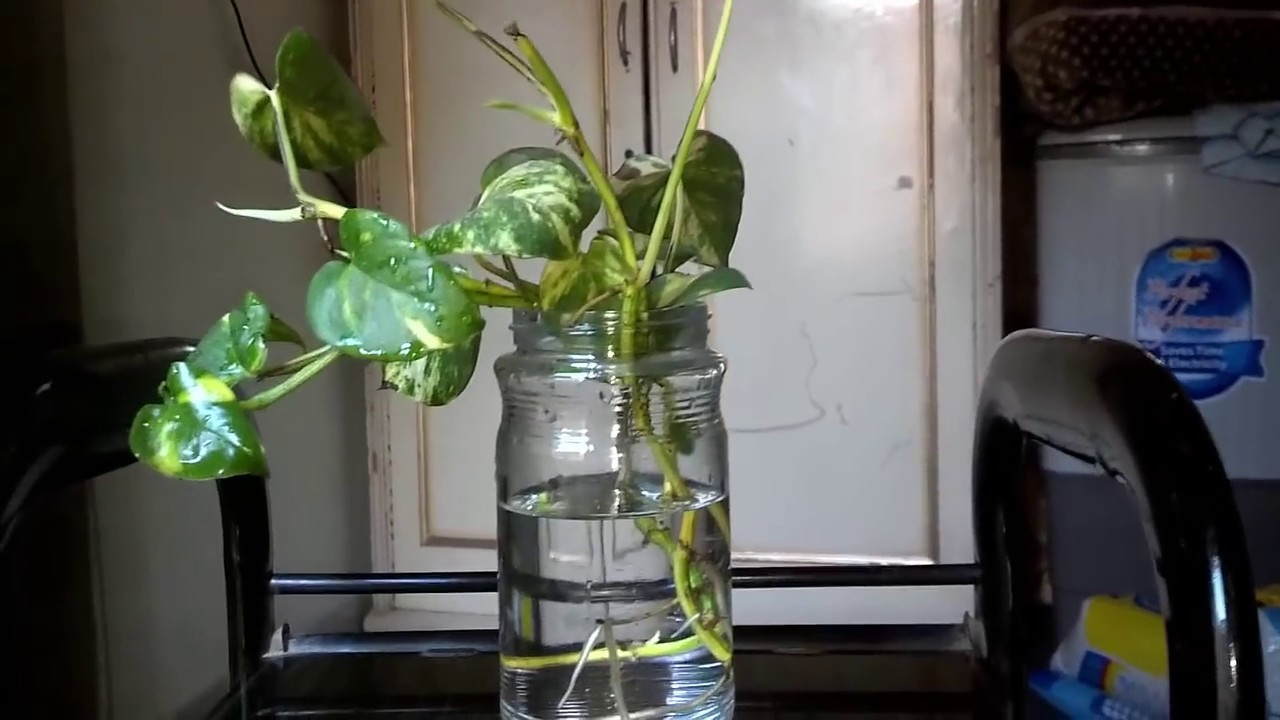 How To Grow Money Plant In Water (urdu/hindi) - YouTube House Plant In Vase on house plants in containers, tropical plants in vases, house plants in kitchen, green plants in vases, aquatic plants in vases, growing plants in vases, fake plants in vases, water plants in vases,