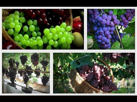 Learn How To Grow Perfect Grape Vines That Produce Up To 42 Pounds of Grapes On A Single Vine