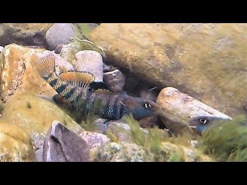 Rainbow Darter (Etheostoma Caeruleum) Spawning Groups And Behaviour. (1080p)