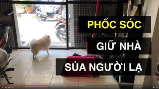 Chó ngoan phốc sóc trông nhà, sủa người lạ | Sủa cảnh vệ | BossDog