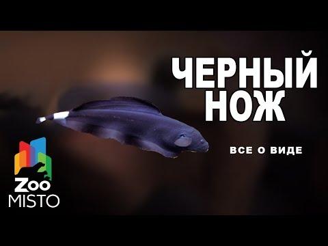 Черный нож - Все о виде рыб | Рыба черный нож