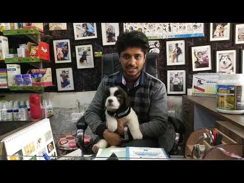 Saint Bernard puppies cl 9140752208