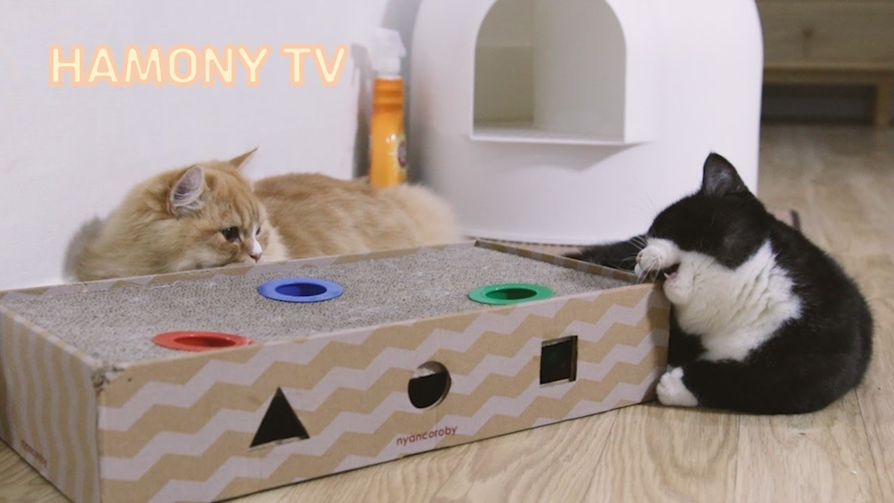 둘이라서 재미나는 고양이 형제 포도와 망고! 박스는 먹지마~ | 먼치킨 숏레그 고양이 가족 - Munchkin short-legged cat family