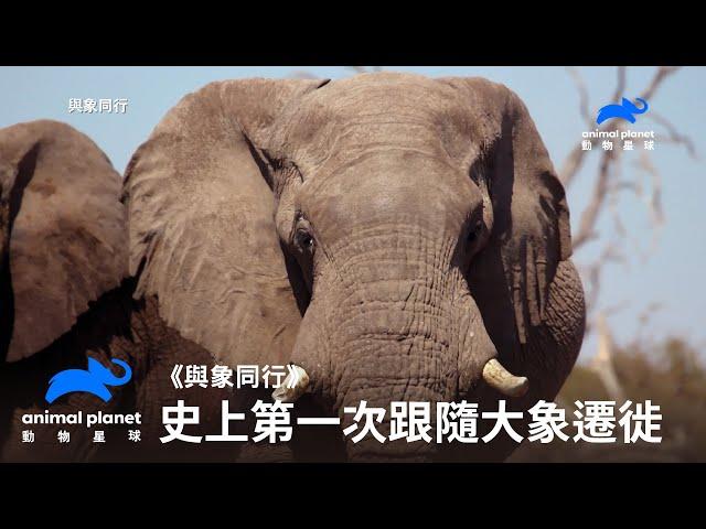 《與象同行》倒數19年可看?史上第一人跟隨野生大象遷徙 動物星球頻道