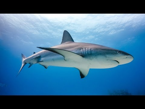 Diving with Sharks - GoPro - Bahamas