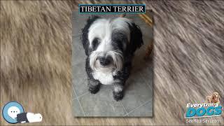 Tibetan Terrier  Everything Dog Breeds