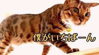 イケメン猫の甘えんぼ&ワガママが大暴走してます!
