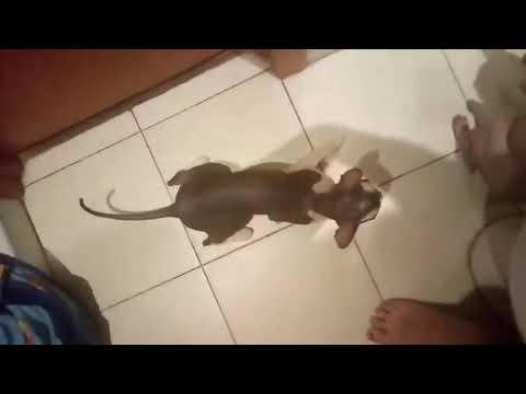Кошачий секс и поведение кошки, после процесса!