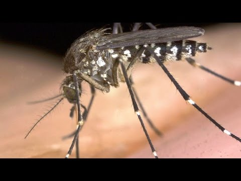 SCAM: FDA ANNOUNCES THEY WILL RELEASE NEW GMO MOSQUITOES TO FIGHT THE GMO ZIKA MOSQUITOES IN FLORIDA
