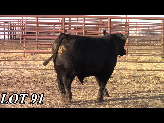 Mead Angus Farms Lot 91