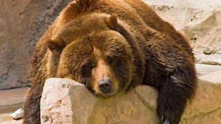 Медвежья Эпопея !!! Пути Эволюции !!! Животные с National Geographic