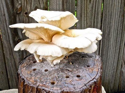 Growing Mushrooms on Totem Logs Using Mushroom Garden Kit