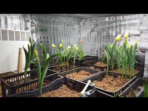 Результат выгонки тюльпанов на 8 марта. Цены на цветок.