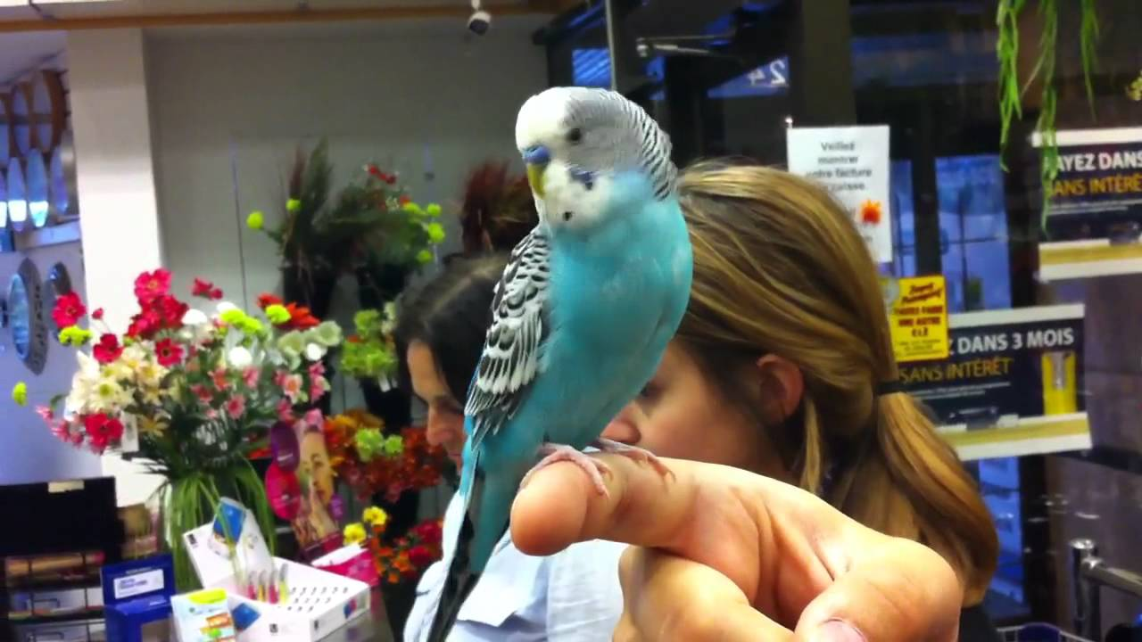 Pichou La Perruche Bleue Youtube