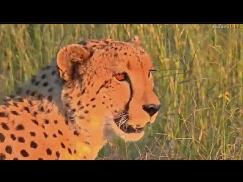 Pt 2 Safari Live's Sunset Safari Drive at 5:30 PM on March 22, 2017 ( Cheetah & Tingana )
