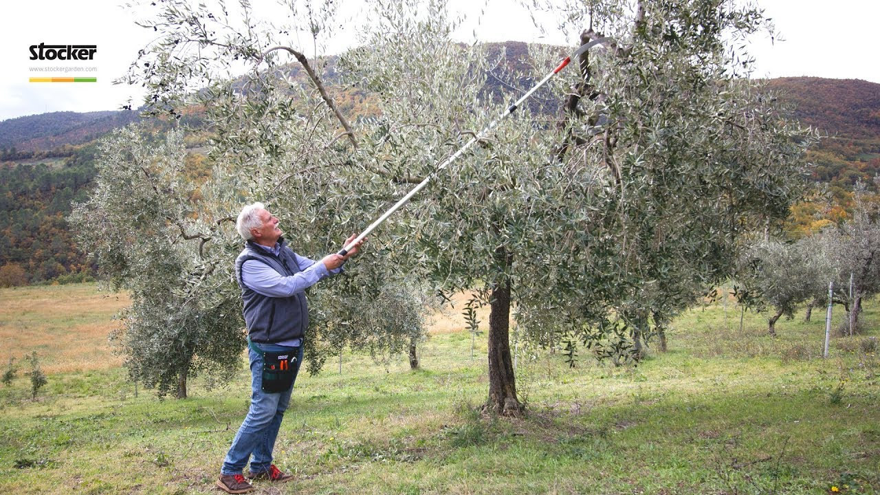 immagini potatura olivo