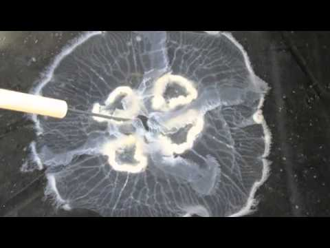 Jellyfish And Anemone Anatomy (Cnidaria)