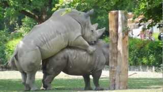 Liebesspiel bei Nashörnern