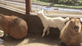 スエトシ牧場 カピバラに遊んでもらう子ヤギ