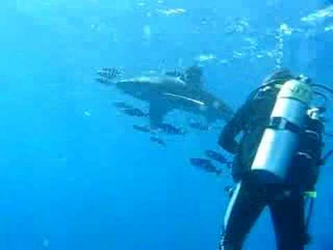 Shark plus Pilot Fish