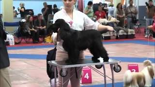 Euro Dog Show-2012 English Cocker Spaniel - Puppy Class.wmv