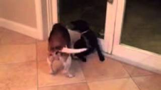 Allie The Beagle Schools A Puppy On Play