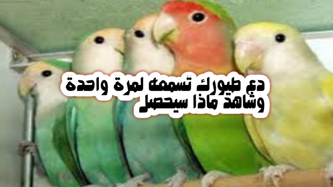 تغريد اناث طيور الروز والفيشر لتحفيز الذكور على التزاوج 30 دقيقة ستجعل طيورك تتزاوج رغم عنها Youtube