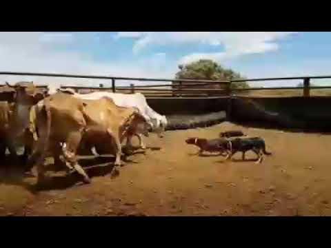 Dog herding Cattle / Austrailian Kelpie