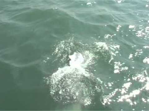 Chinese White Dolphins Part 5