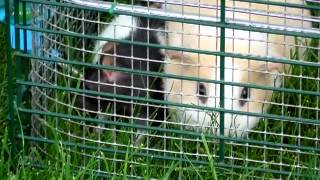 Rat, Guinea Pig, And Pomeranian Part 5