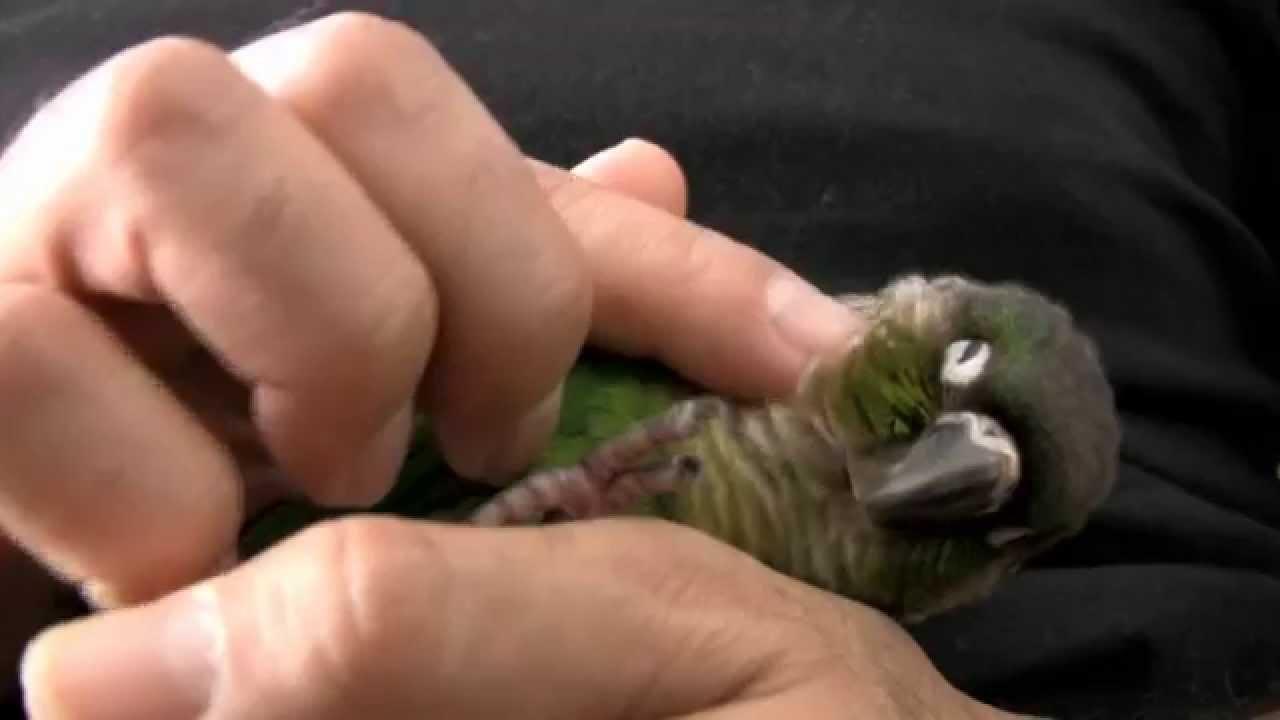 Hand Raised Green Cheek Conure for sale | Birdsville