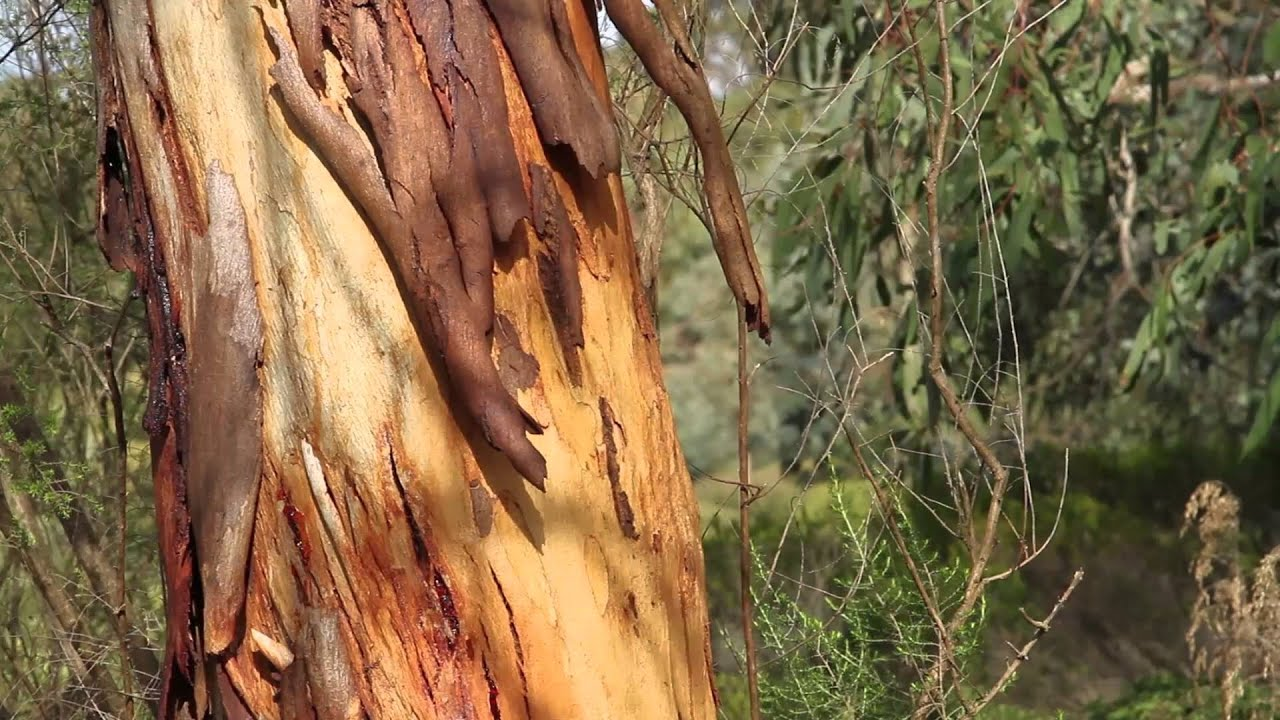Gum trees are great to grow - Eucalypts for your home garden
