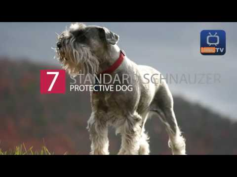 Top 10 Most Protective Dog Breeds
