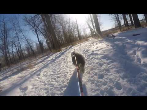 Old English Sheep Dog Mushing with Kick Spark Kick Sled