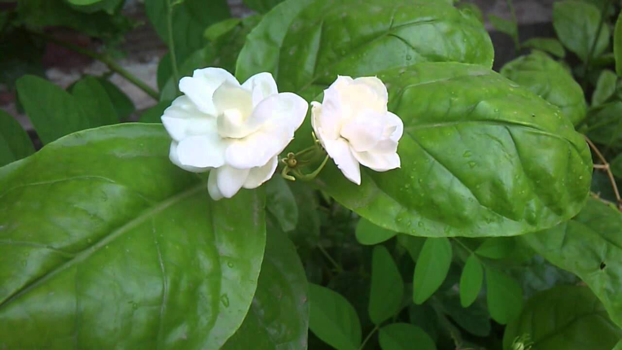 Jasmine Flower Youtube