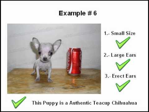Identify Teacup Chihuahuas Puppyиз YouTube · Длительность: 1 мин54 с  · Просмотры: более 7000 · отправлено: 20.03.2012 · кем отправлено: Chihuahuas de Bolsillo