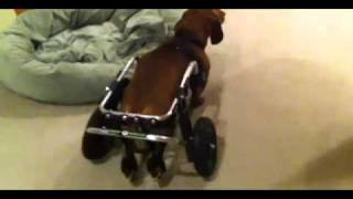 Dachshund Dog Wheelchair, Donner Gets His New Wheels!