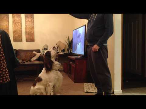 English Springer spaniel Dog Jumping