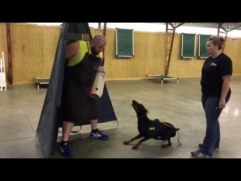 "Elite Personal Protection Dog ""Flint"" Doberman Male For Sale"
