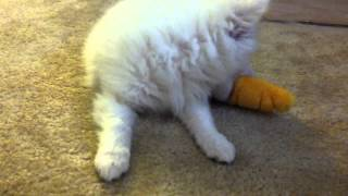 Bolt Playing With Her Carrot :3