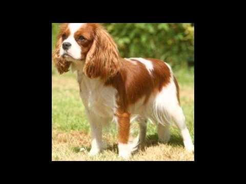 Кавалер Кинг   Чарльз Спаниель/Cavalier King Charles Spaniel (порода собак HD slide show)!