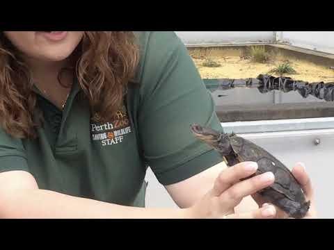 Western Swamp Tortoises At Perth Zoo