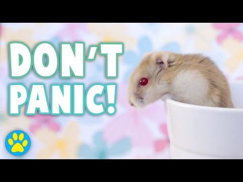 What To Do If You Drop Your Hamster - YouTube
