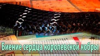 Сердце змеи