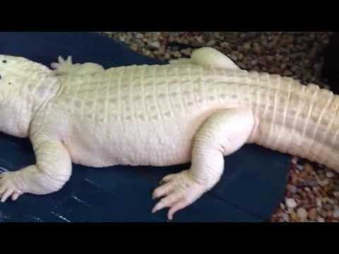 Trezo Je, the leucistic alligator.