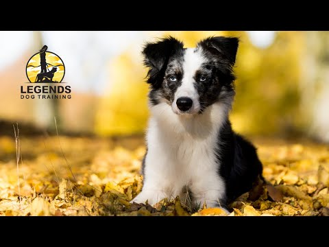 Mini Australian Shepherd: Barking, Anxiety