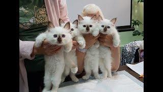 Бирманские котята из питомника кошек PCA БЕЛЫЕ ЛАПКИ